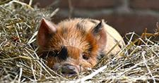 Kune Kune Cuties