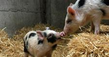 Auckland Island Piglets