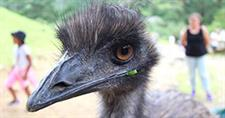 Emus let loose...