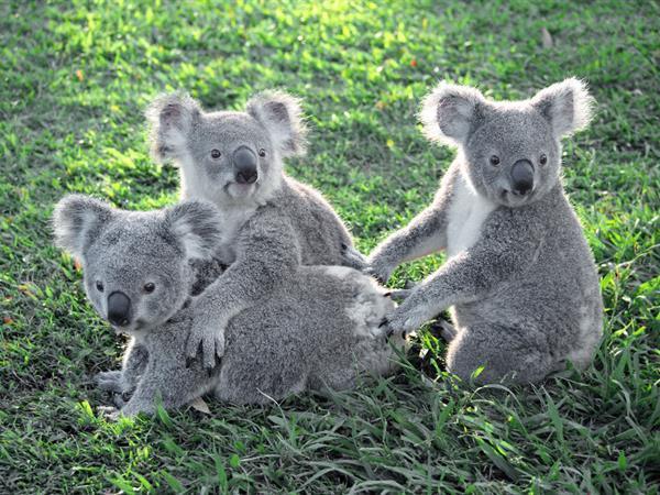 龙柏考拉动物园(Lone Pine Koala Sanctuary) 布里斯班瑞雅大酒店