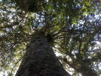 Guided Kauri Forest Experience