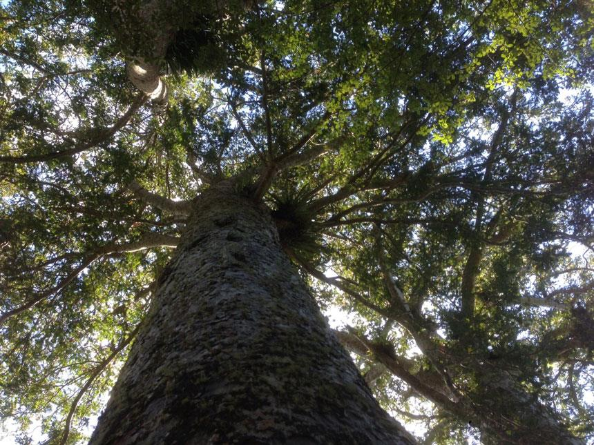 Guided Kauri Forest Experience Coromandel Adventures
