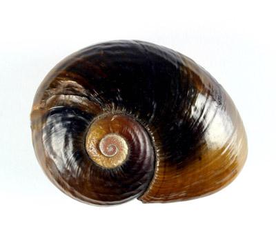 Kauri Snail Shells HC114