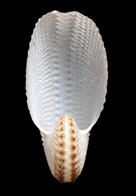 Shells, Paper Nautilus & Cask HC117/1-2