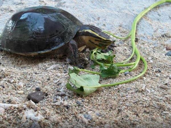 Serangan Island Turtle Conservation Centre (Turtle Island) Swiss-Belresort Watu Jimbar