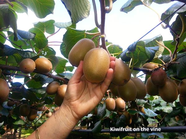 Tauranga Highlights and Kiwifruit Kiwifruit Country Tours
