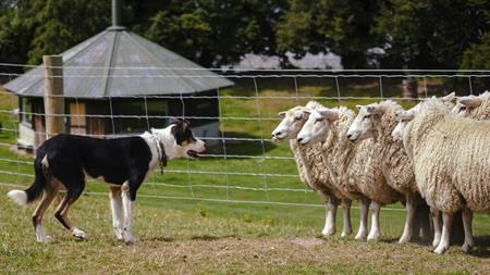 Sheep Farm tour NZ Shore Excursions