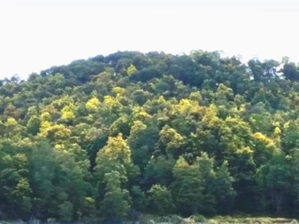 Australian Wattle Trees Eradicated Totally Tarawera