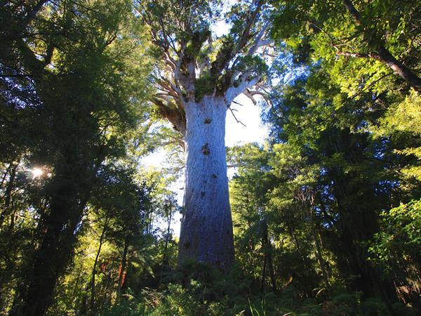 Hokianga's Waipoua Forest Kauri Trees & Glow Worms Paihia Top 10