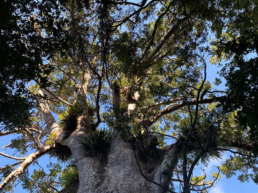 Long Bay Guided Kauri Forest Experience Coromandel Adventures