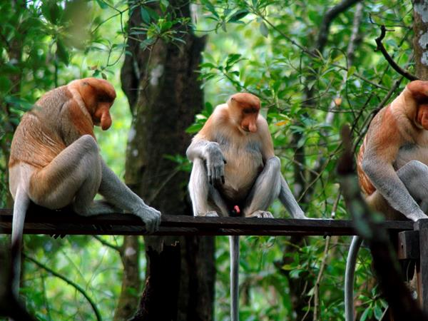 Mangrove and Proboscis Conservation Area Swiss-Belhotel Tarakan