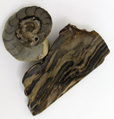 Ammonite and petrified wood HC192