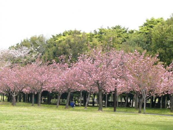 Taman Sakura Cibodas Zest Bogor