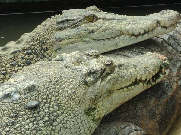 Crocodiles Breeding Farm
