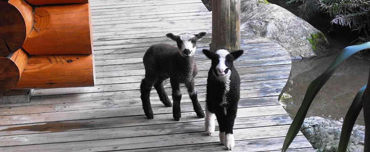 Staglands Goats