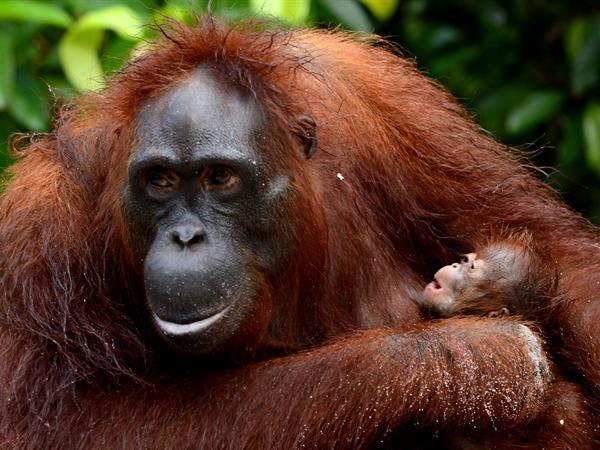 Yayasan Orang Utan Borneo Swiss-Belhotel Balikpapan