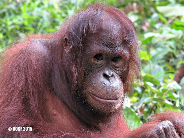 Swiss-Belhotel International takes bold action in Indonesian Orangutan Conservation