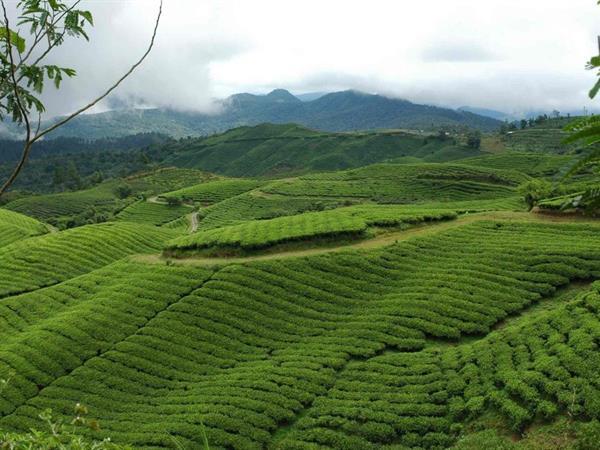 Malino Tea Plantation Swiss-Belhotel Makassar